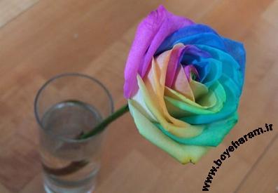 گل رز رنگی,پرورش گل,ساخت گل رنگی