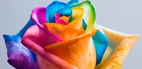 ایده ای جالب برای رنگی کردن گلبرگ های گل رز