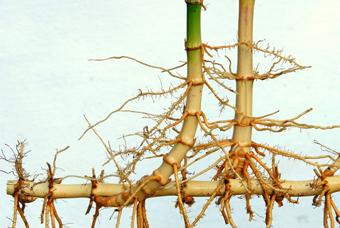 فواید چوبک,فواید ریشه چوبک,ضررهای ریشه چوبک,گیاه چوبک