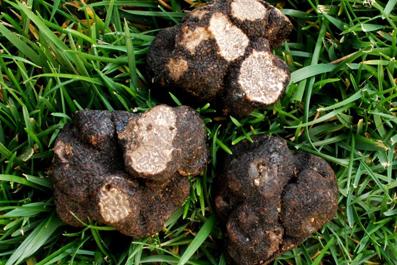 گیاه دونبالان یا دنبلان,خواص قارچ دنبلان یا دونبالان
