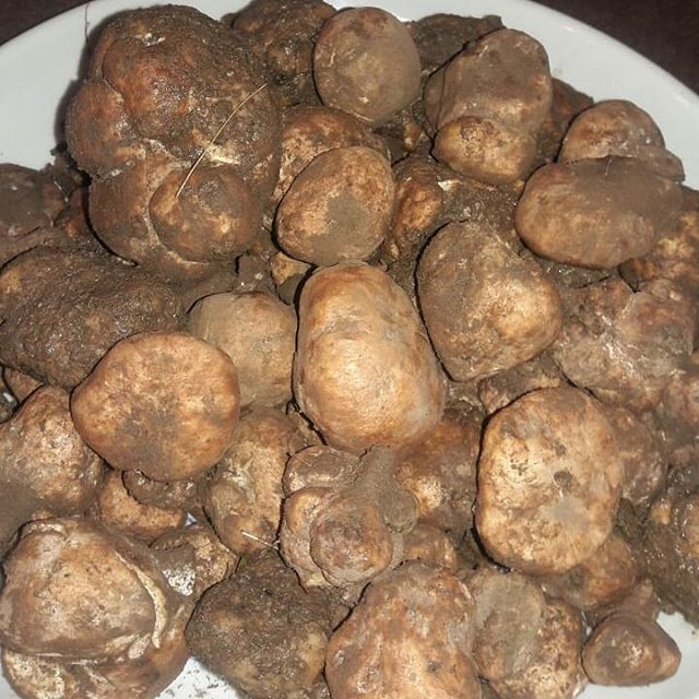 آشنایی با قارچ دنبلان,قارچ دنبلان,خاصیت دارویی دنبلان,دونبالان یا دنبلان
