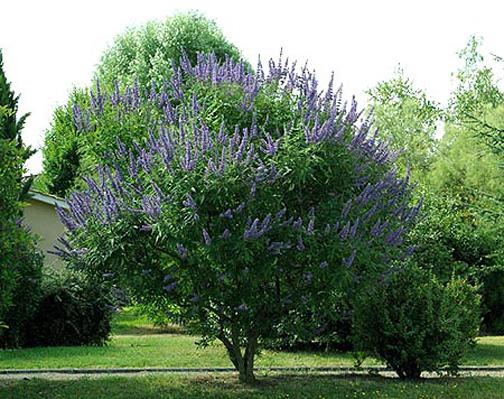 گیاه پنج انگشت یا درخت پاکدامن