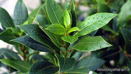 برگ بو التهاب را کاهش می دهد,برگ بو سیستم ایمنی بدن را تقویت می کند,رگ بو مناسب برای درمان دیابت