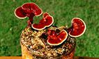 همه چیز درباره قارچ جاودانگی (گانودرما) و خواص دارویی آن