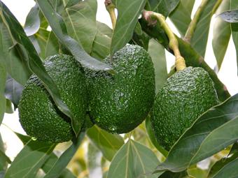 خواص میوه ها,خواص دارویی میوه ها,خاصیت میوه ها,خاصیت انواع میوه ها,خواص انواع میوه ها