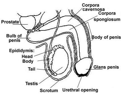 چه عواملی به آلت تناسلی آسیب میرساند؟,ناحیه تناسلی,آسیب ناحیه تناسلی,دستگاه تناسلی,دستگاه تناسلی مردان