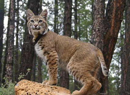 گربه های شگفت انگیز,لیست گربه های وحشی,تصاویر گربه های وحشی