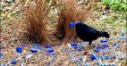 حرکت رمانتیک مرغ نر برای جذب ماده! ،عکس